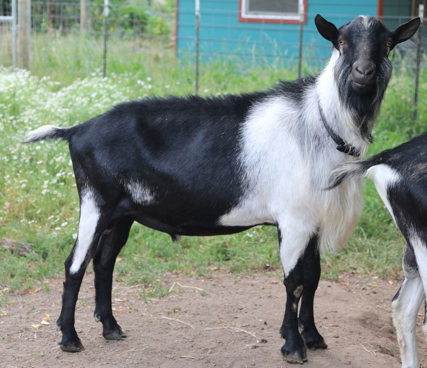 Bolero at Missdee's French Alpine Dairy Goats